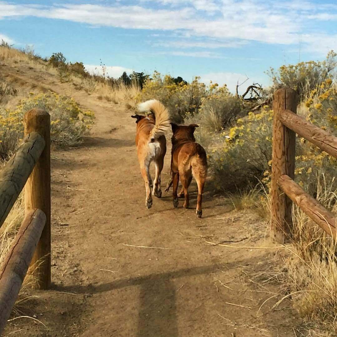 Two dogs off-leash head up a dirt trail into foothills