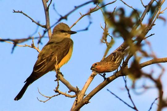 Western King Bird with Finch